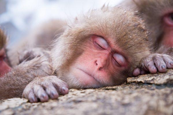 monkey-hot-spring